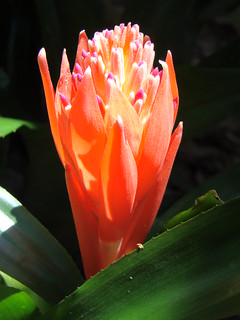 Bromeliad: FLAMING TORCH  #1