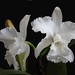 Cattleya  lueddemaniana alba