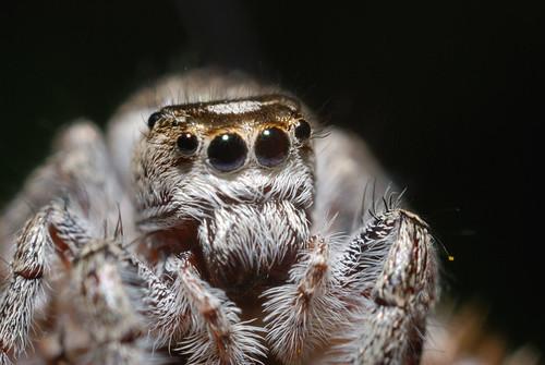 ontario canada macro lens spider jumping nikon 28mm tan reversed platycryptus d80 undatus