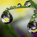 Primrose dewdrop refraction #3