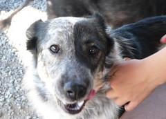 border collie, dog breed, animal, dog, pet, mammal, australian cattle dog,