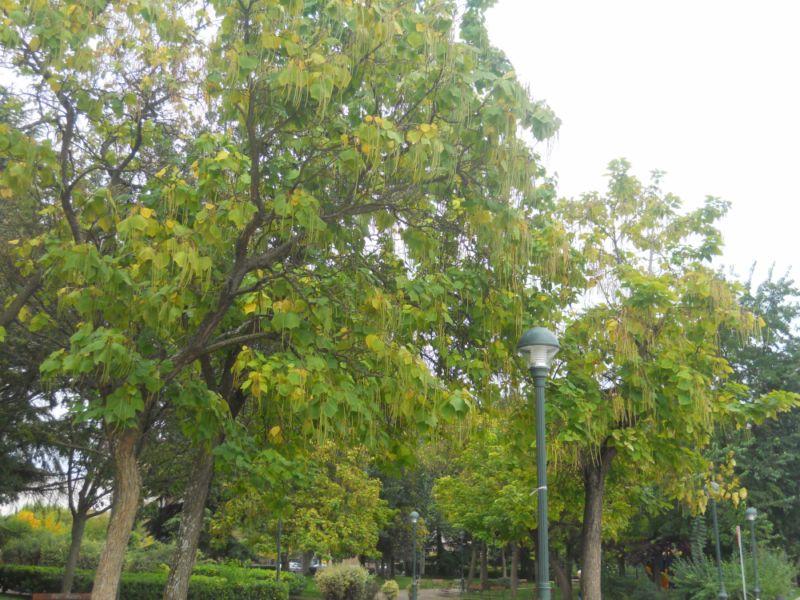 Catalpas en otoño 2