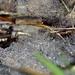 Venonia (Sheet-web Wolf Spiders)