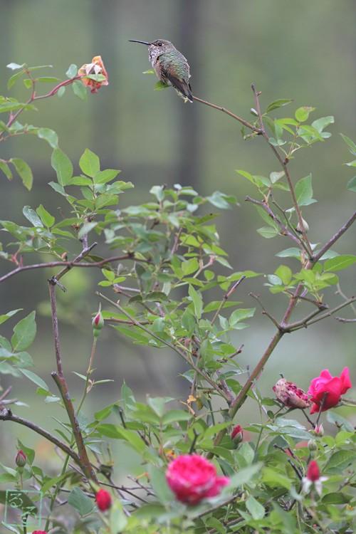 Allen's Hummingbird16101-3