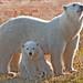 Polar Bears A Gallery On Flickr