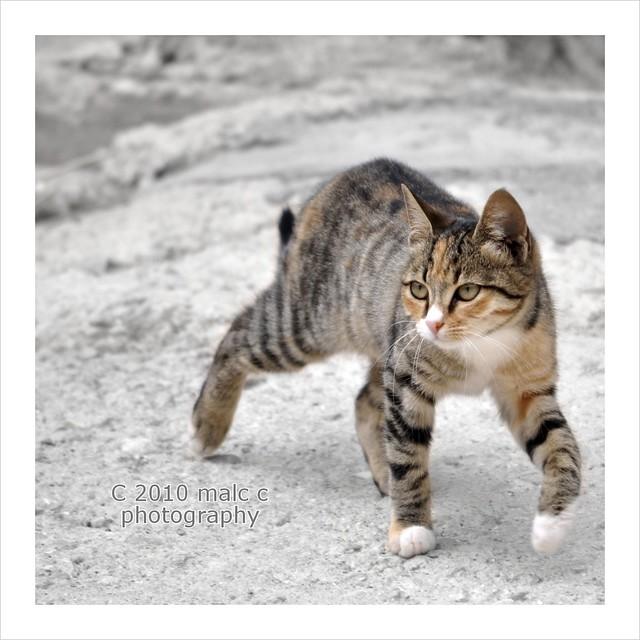 Cat on the prowl - www.malcchapman.com