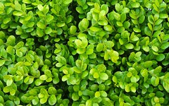 Buxus ´Green Gem´ - bursting with spring growth