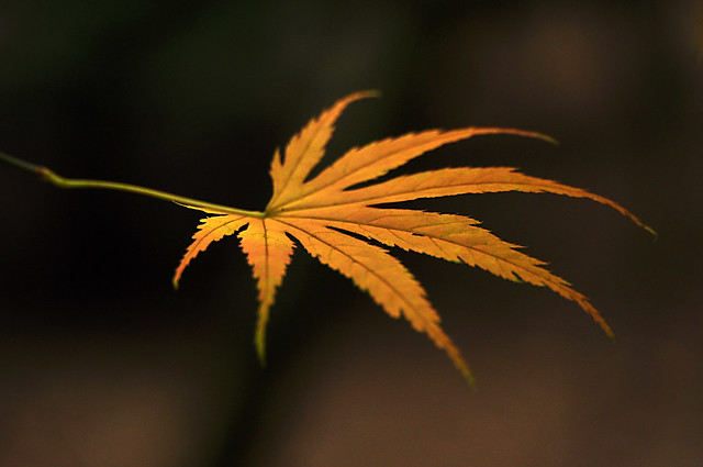 Yellow Acer Leaf