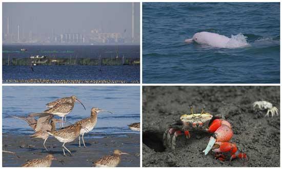 六輕、白海豚、大杓鷸、招潮蟹,一方的發展,三方來陪葬。圖片來源:彰化環保聯盟
