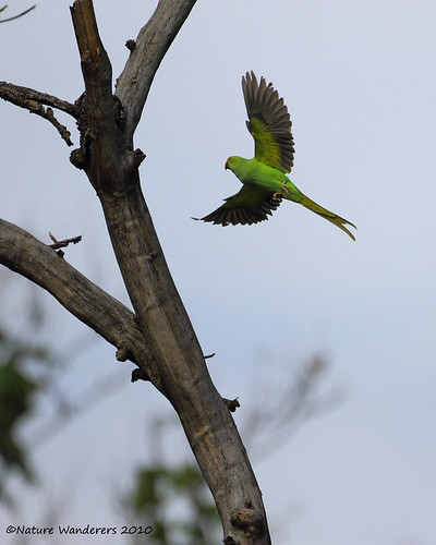 Parakeet in flight