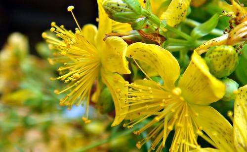 Fiori di Iperico, usi in aromaterapia e massaggio