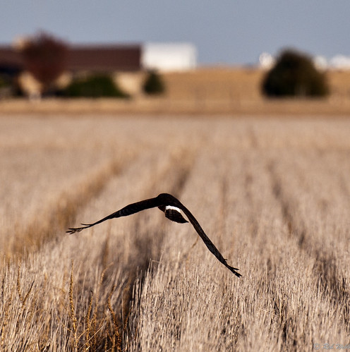 usa field flying pheasant hawk farm wheat hunting western kansas hunt wheatfield pheasanthunting sublett