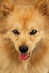 eurasier(0.0), japanese spitz(0.0), greenland dog(0.0), american eskimo dog(0.0), dog breed(1.0), animal(1.0), german spitz klein(1.0), dog(1.0), pet(1.0), volpino italiano(1.0), german spitz(1.0), finnish spitz(1.0), german spitz mittel(1.0), close-up(1.0), carnivoran(1.0), pomeranian(1.0), icelandic sheepdog(1.0),