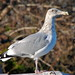 American Herring Gull - Photo (c) Mr. T in DC, some rights reserved (CC BY-ND)
