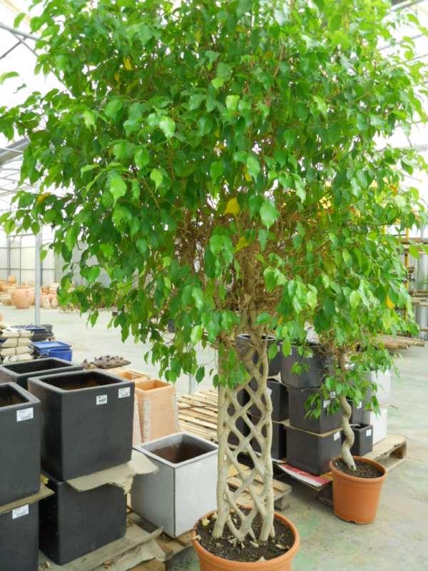 Ficus nitida v 4