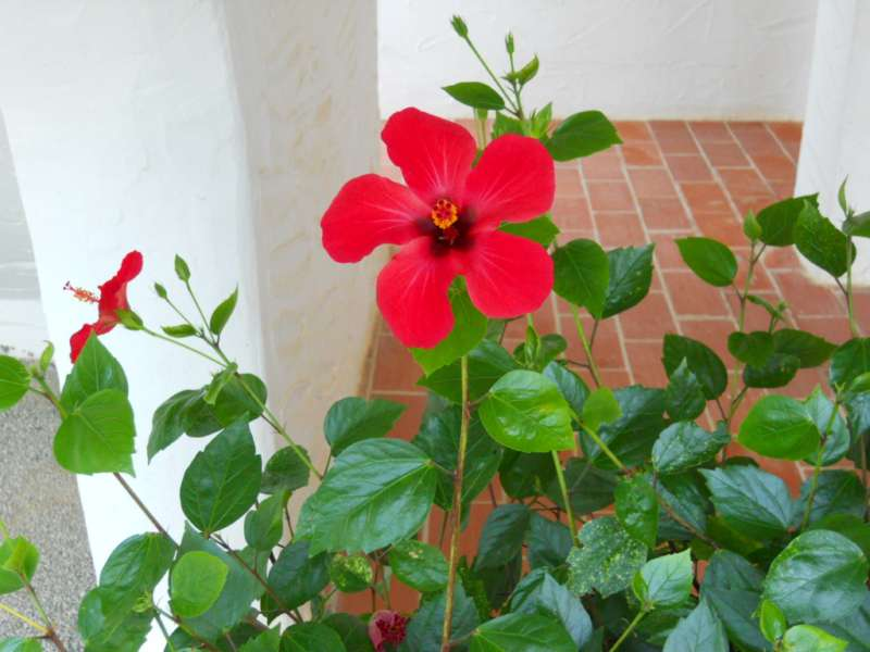 Hibiscus rosa sinensis 'Holiday' 2