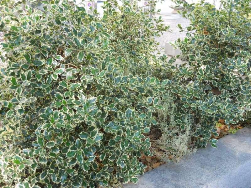 Ilex aquifolium 'Golden Queen' 3