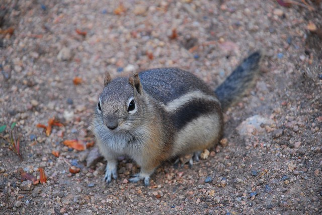 how to tell if a chipmunk is pregnant