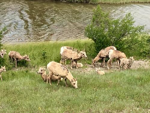 Goats in Jasper, AB