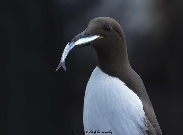 Farne Islands - Guillemot, Canon EOS 5D MARK III, Canon EF 500mm f/4L IS II USM