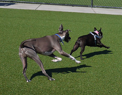 dog sports, animal, hound, dog, whippet, sighthound, pet, mammal, italian greyhound, boston terrier,