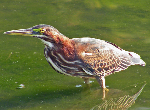 Green Heron in green water