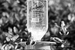 Hummingbirds 2010