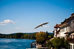 Möven am Rhein