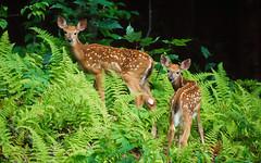 giraffe(0.0), giraffidae(0.0), animal(1.0), mammal(1.0), fauna(1.0), white-tailed deer(1.0), jungle(1.0), wildlife(1.0),