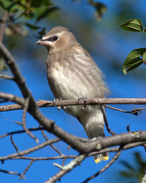 With the exception of one little goldfinch, everything I managed to line up on in Owen Park on Wednesday turned out to be a juvenile Waxwing.  The streaks on the breast confused me, but that just means it's young.