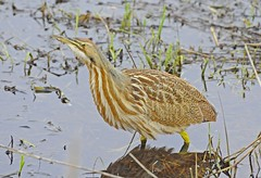 sandpiper(0.0), snipe(0.0), wetland(1.0), animal(1.0), fauna(1.0), bittern(1.0), beak(1.0), bird(1.0), wildlife(1.0),