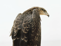 vulture(0.0), animal(1.0), hawk(1.0), bird of prey(1.0), falcon(1.0), eagle(1.0), wing(1.0), fauna(1.0), close-up(1.0), buzzard(1.0), bald eagle(1.0), accipitriformes(1.0), beak(1.0), bird(1.0), wildlife(1.0),