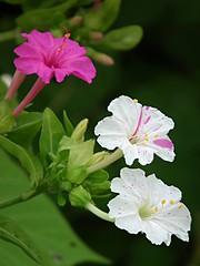blossom(0.0), annual plant(1.0), flower(1.0), four o'clock flower(1.0), plant(1.0), macro photography(1.0), flora(1.0), four o'clocks(1.0), hibiscus(1.0), petal(1.0),