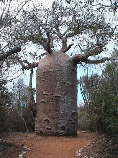 baobab-teapot-ifaty