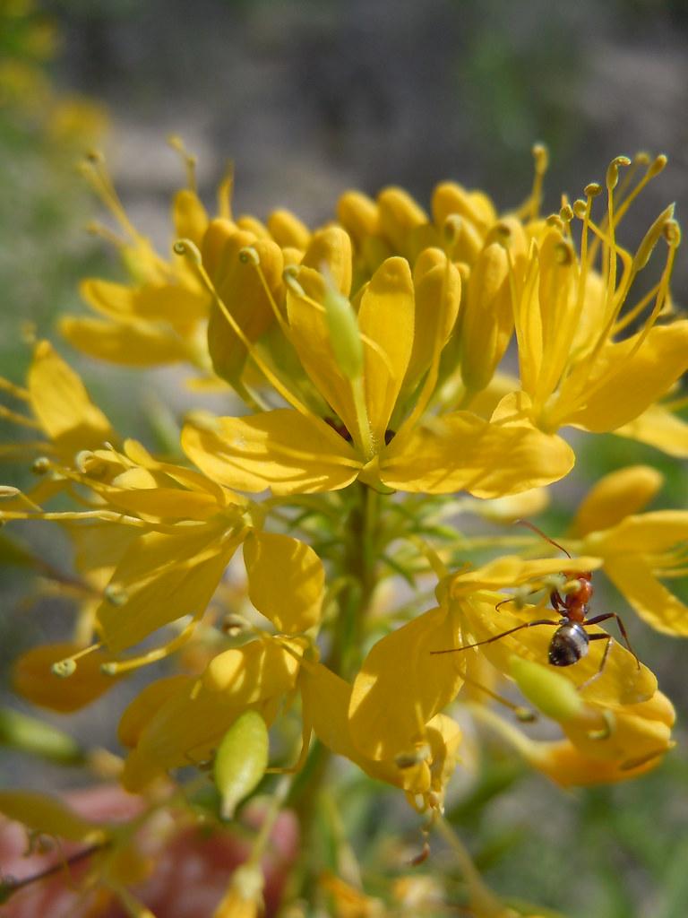 Yellow Spiderflower Cleome Lutea Inaturalist