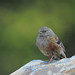Small photo of Alpine Accentor