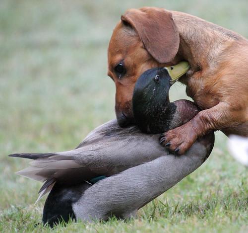 dog pets duck dachshund explore mallard canonef35350mmf3556lusm canoneos40d ronmayhew thebestofday gününeniyisi