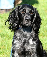 dog breed, animal, german longhaired pointer, sussex spaniel, dog, pet, small mã¼nsterlã¤nder, field spaniel, irish setter, setter, russian spaniel, english cocker spaniel, picardy spaniel, blue picardy spaniel, german spaniel, flat-coated retriever, american water spaniel, carnivoran,