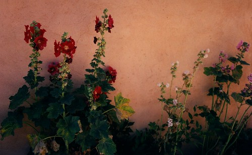 Hollyhocks ~Taos, New Mexico by Vasenka