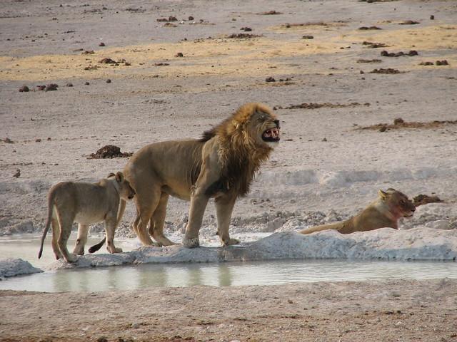 León en el Parque Nacional Etosha, Namibia