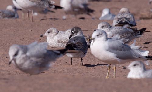 Franklin's Gull amidst Ring-billed Gulls
