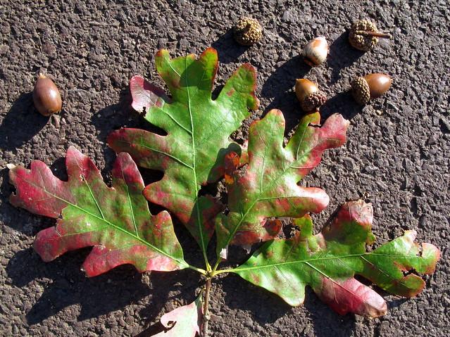 Quercus alba white oak acorns and leaves flickr photo