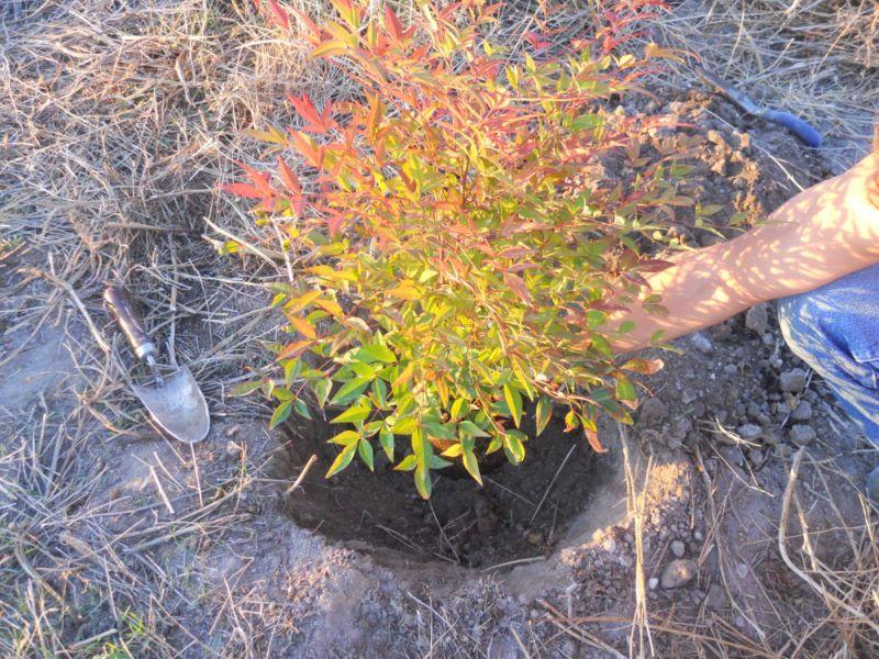 Calculando profundidad plantación Nandina