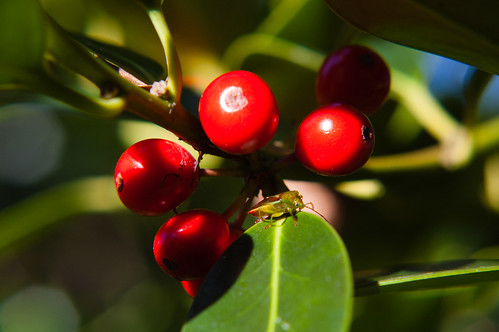 Holly berries with small cricket
