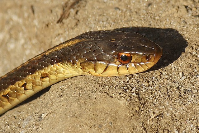 Common Garter Snake 16 Flickr Photo Sharing