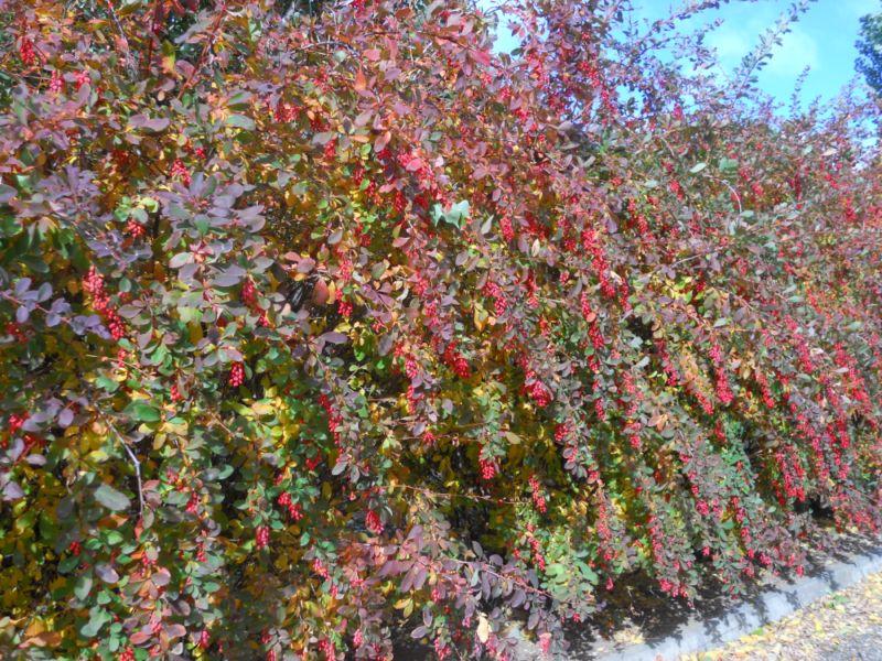 Jardineros en acci n setos vegetales - Setos de jardin ...