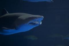 animal, fish, great white shark, shark, marine biology, lamniformes, underwater, carcharhiniformes, requiem shark, tiger shark, blue,