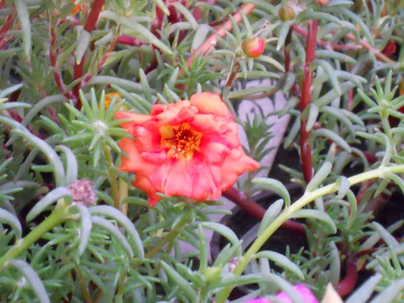 Portulaca grandiflora 2