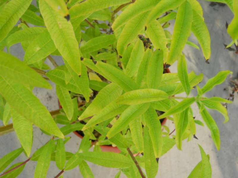 Salvia leucantha 2