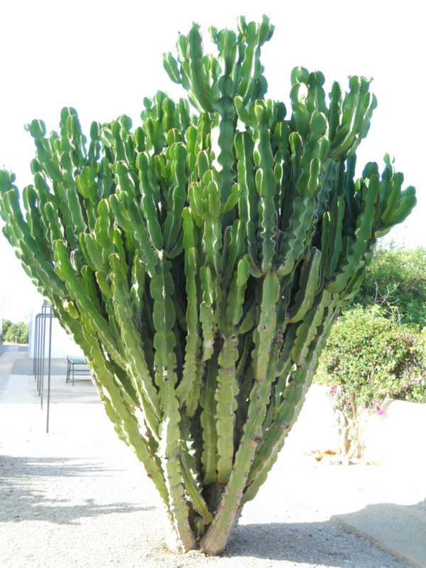 Euphorbia candelabrum v 1